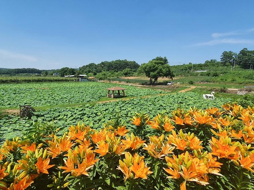 통일촌 꽃 만개 2.jpg